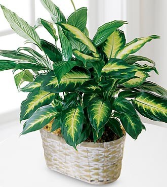 برای گیاهان خانگی می توان از کود برگ استفاده کرد